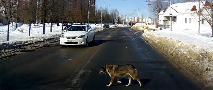 авария с безнадзорной собакой
